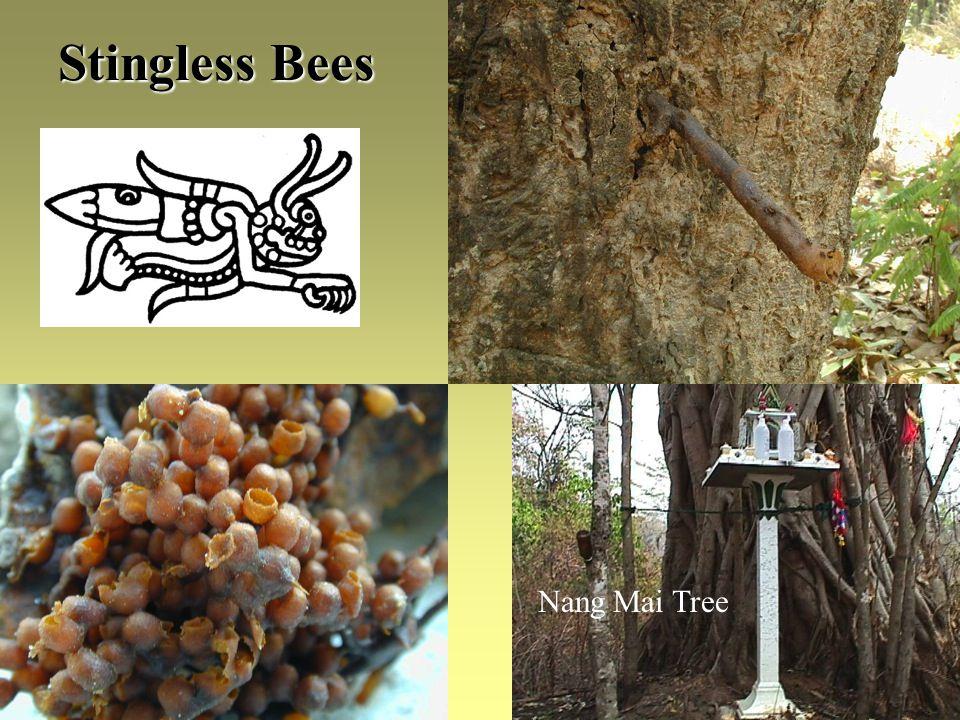 Stingless Bees Nang Mai Tree