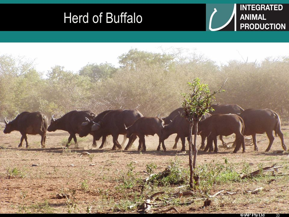 © IAP Pty Ltd 33 Herd of Buffalo