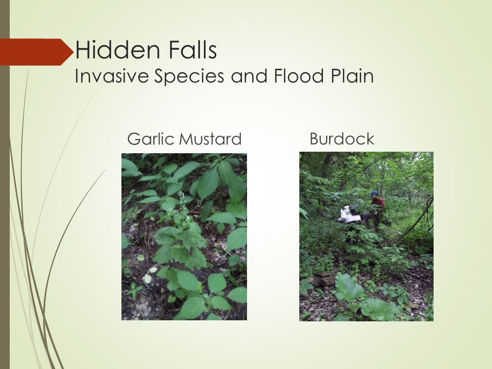 Hidden Falls Invasive Species and Flood Plain Garlic Mustard Burdock