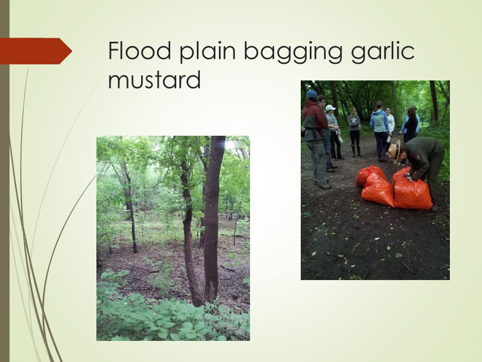 Flood plain bagging garlic mustard