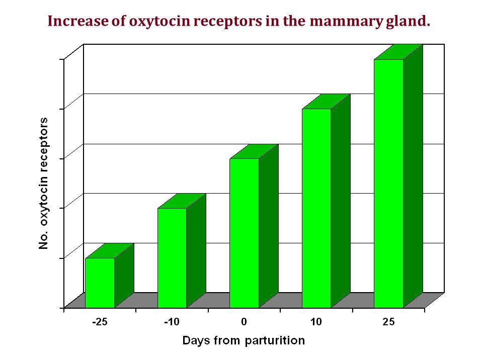 Increase of oxytocin receptors in the mammary gland.