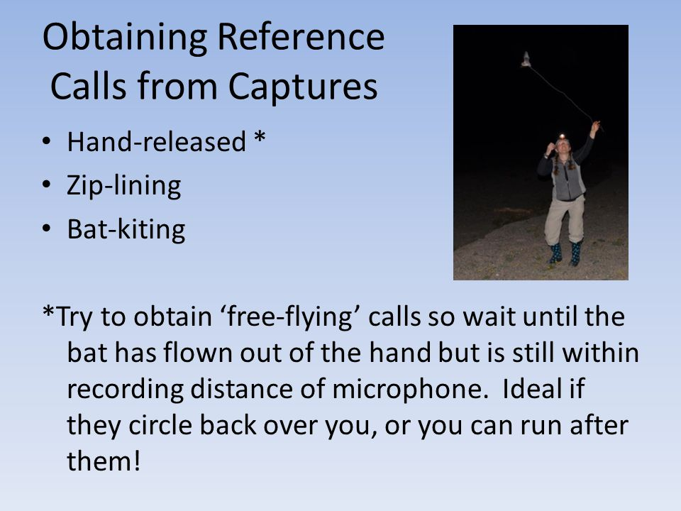 Obtaining Reference Calls from Captures Hand-released * Zip-lining Bat-kiting *Try to obtain free-flying calls so wait until the bat has flown out of
