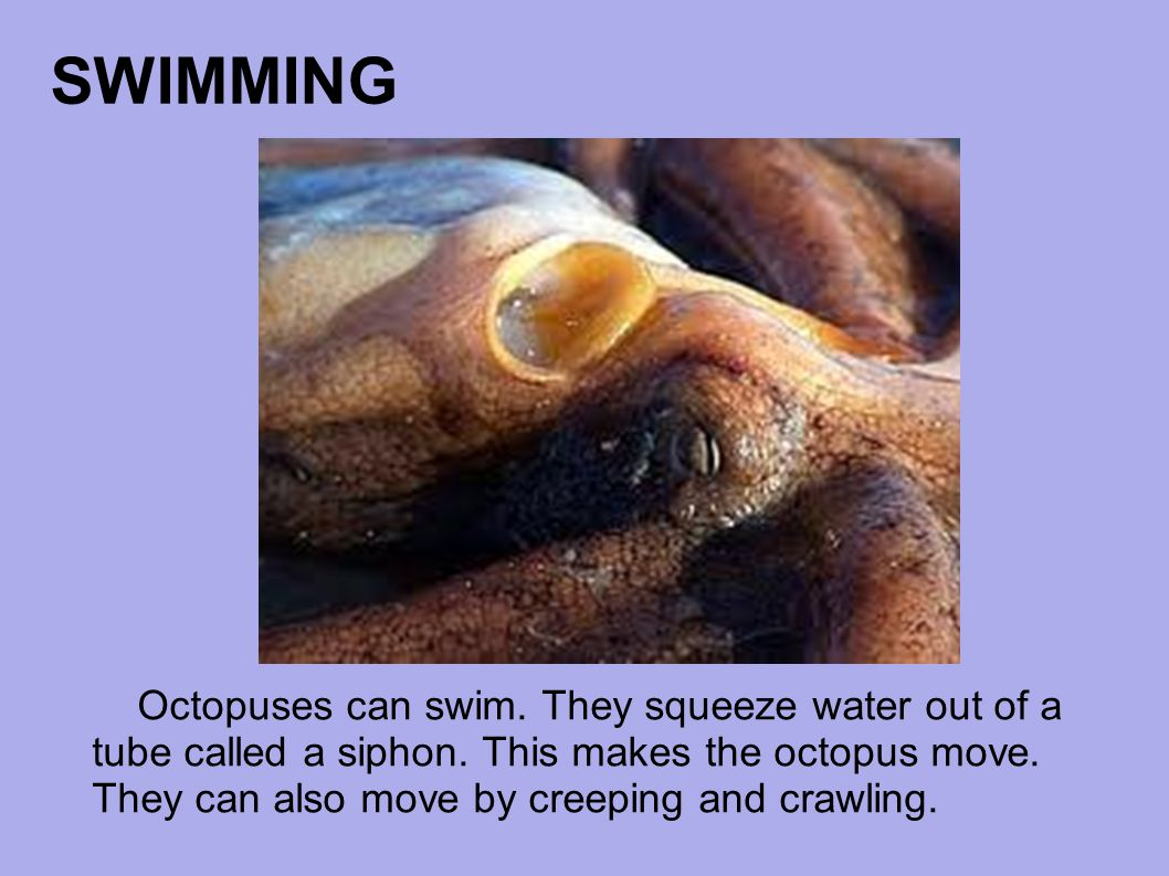 SWIMMING Octopuses can swim. They squeeze water out of a tube called a siphon. This makes the octopus move. They can also move by creeping and crawlin