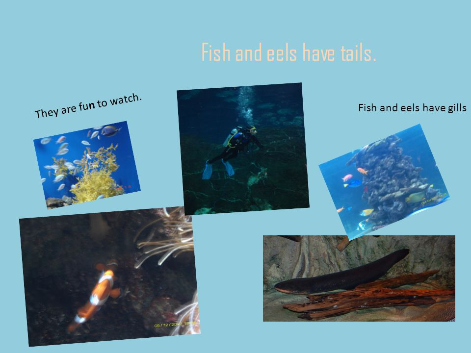 Fish and eels have tails. They are fun to watch. Fish and eels have gills
