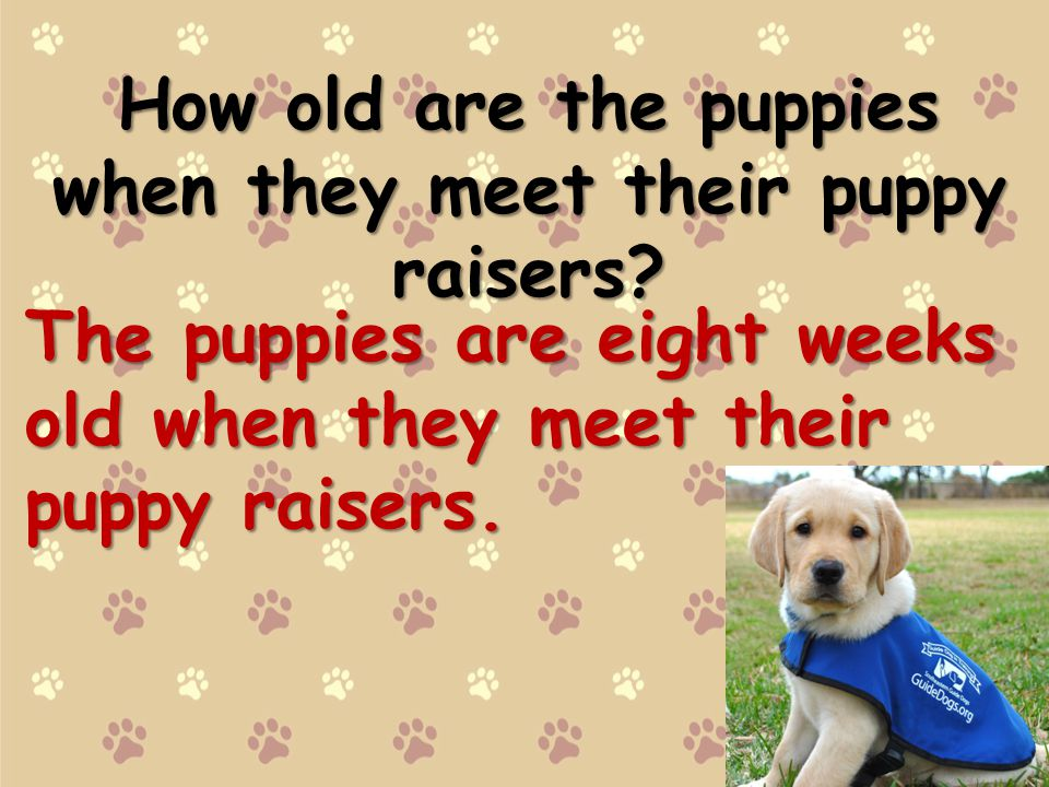 How old are the puppies when they meet their puppy raisers.