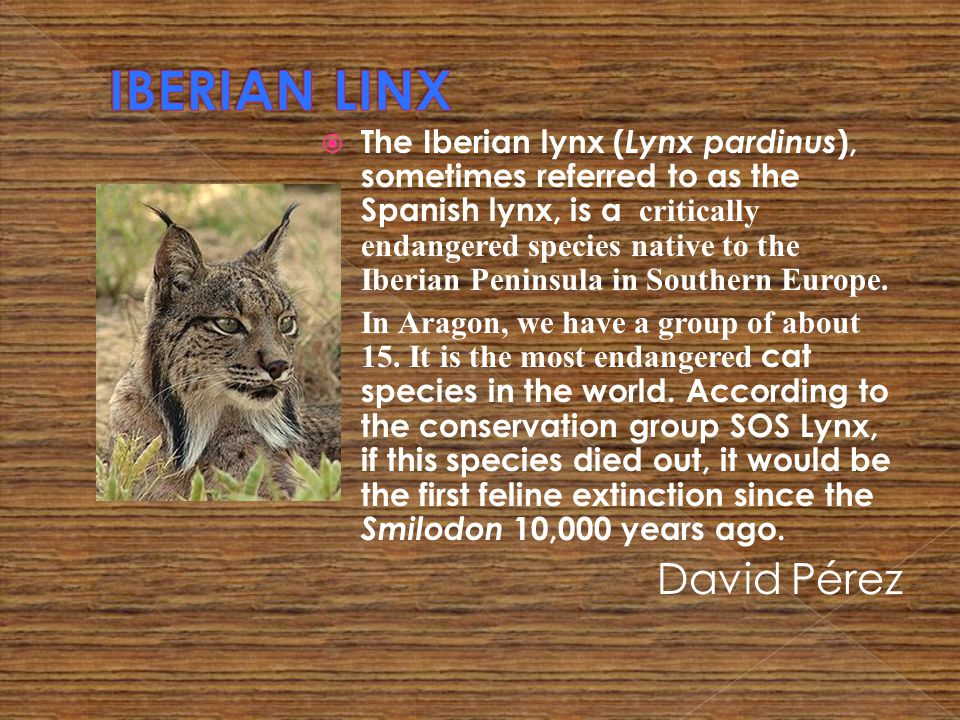 The Iberian lynx ( Lynx pardinus ), sometimes referred to as the Spanish lynx, is a critically endangered species native to the Iberian Peninsula in S