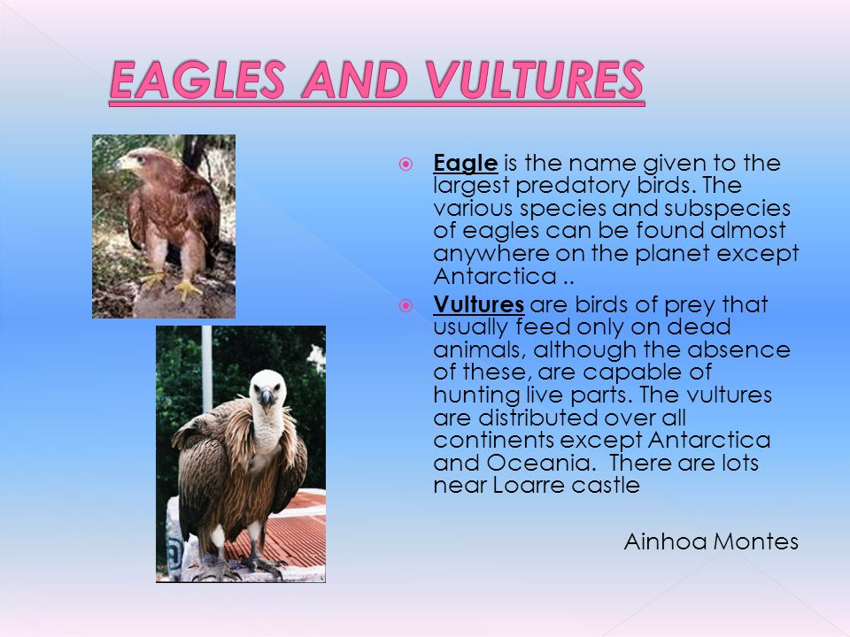 Eagle is the name given to the largest predatory birds. The various species and subspecies of eagles can be found almost anywhere on the planet except