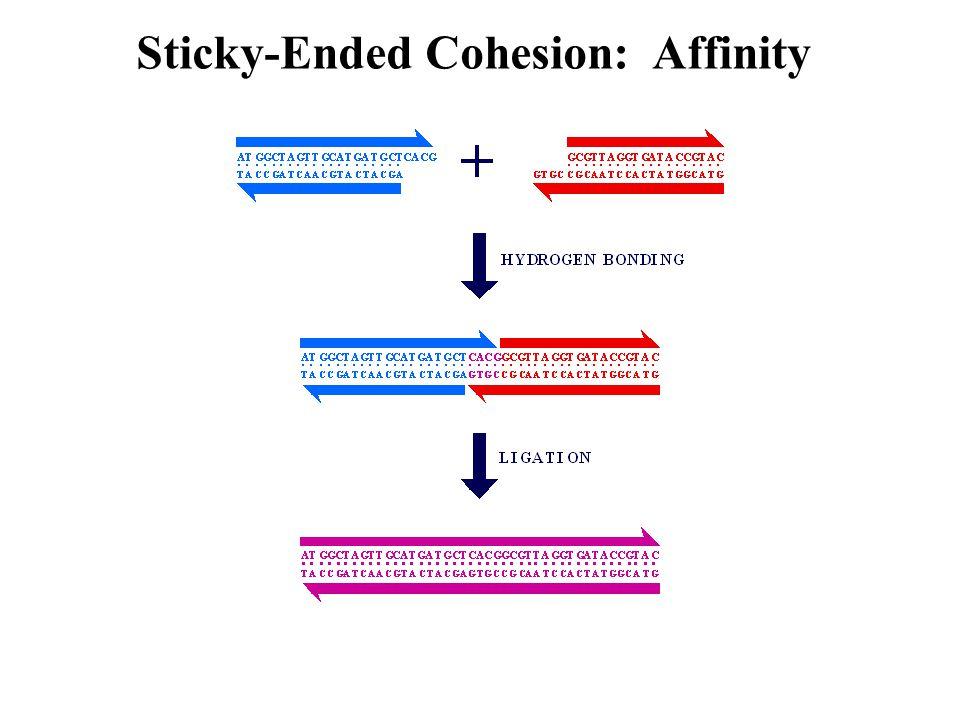 Sticky-Ended Cohesion: Affinity