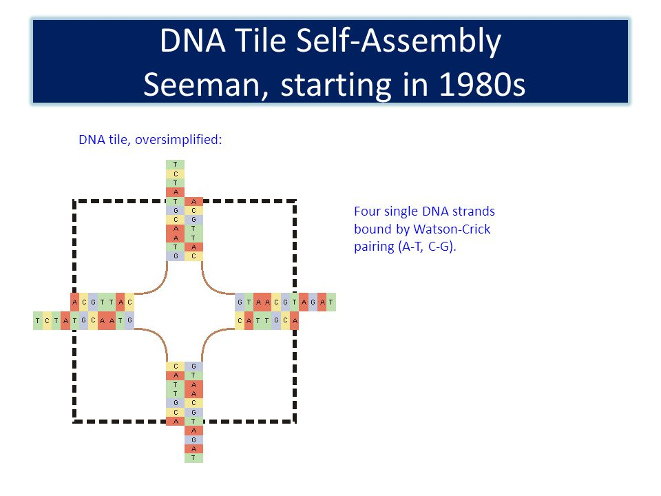 DNA Tile Self-Assembly Seeman, starting in 1980s DNA tile, oversimplified: Four single DNA strands bound by Watson-Crick pairing (A-T, C-G).