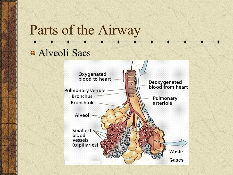 Parts of the Airway Alveoli Sacs Waste Gases