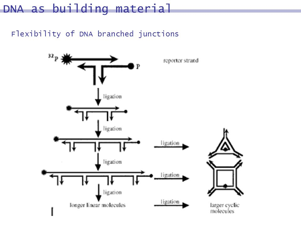 DNA as building material Flexibility of DNA branched junctions