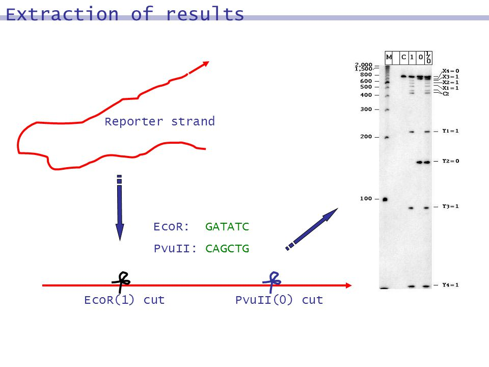 Reporter strand EcoR(1) cutPvuII(0) cut EcoR: GATATC PvuII: CAGCTG Extraction of results