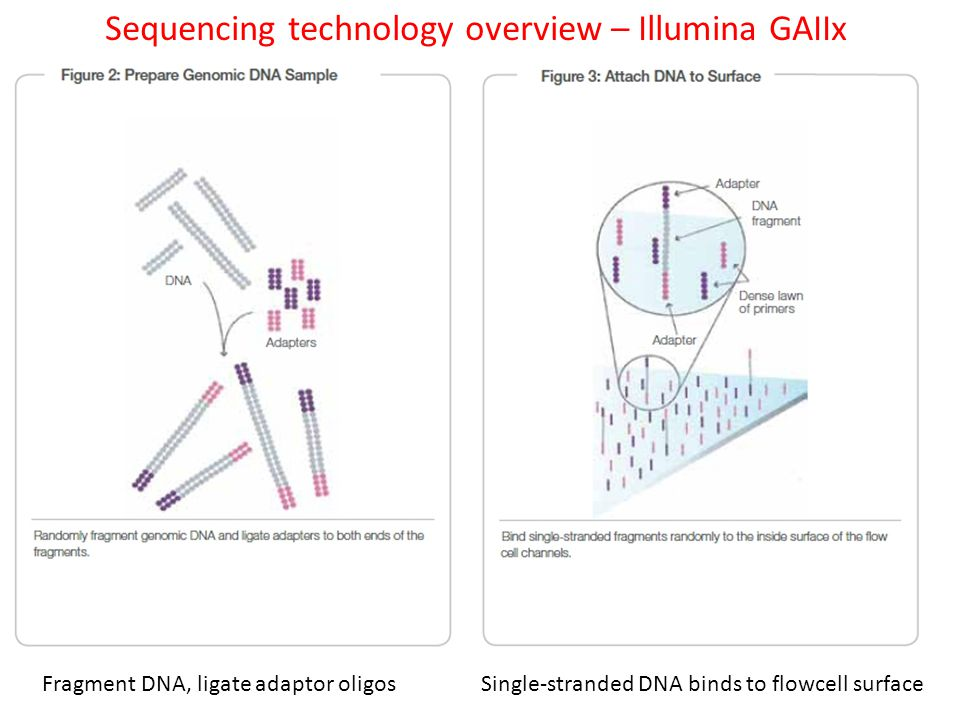 Sequencing technology overview – Illumina GAIIx Fragment DNA, ligate adaptor oligos Single-stranded DNA binds to flowcell surface