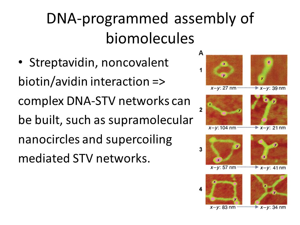 DNA-programmed assembly of biomolecules Streptavidin, noncovalent biotin/avidin interaction => complex DNA-STV networks can be built, such as supramol