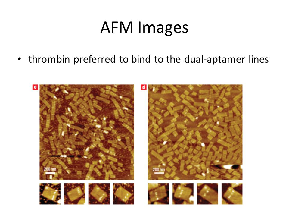 AFM Images thrombin preferred to bind to the dual-aptamer lines
