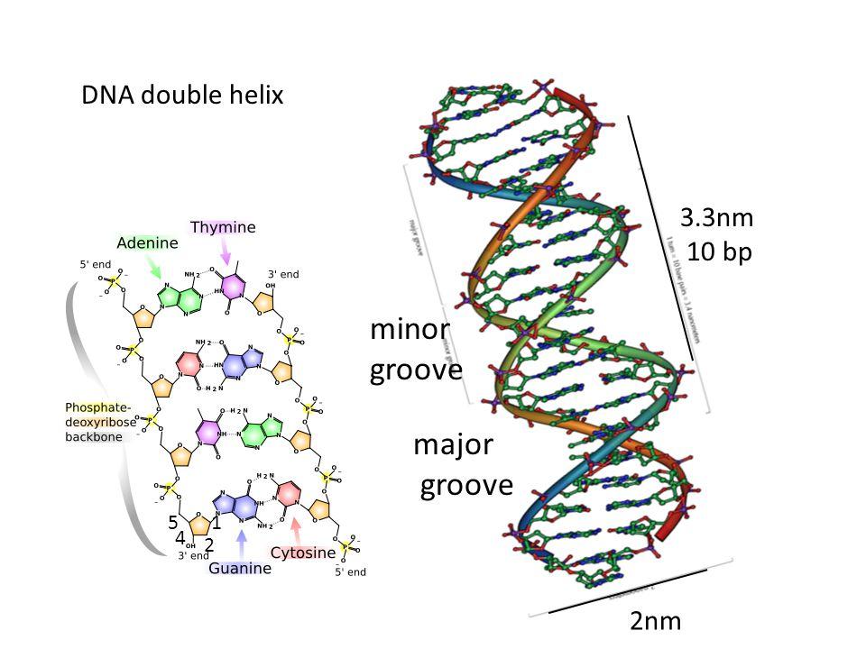 DNA double helix 2nm 3.3nm 10 bp 1 2 4 5 major groove minor groove