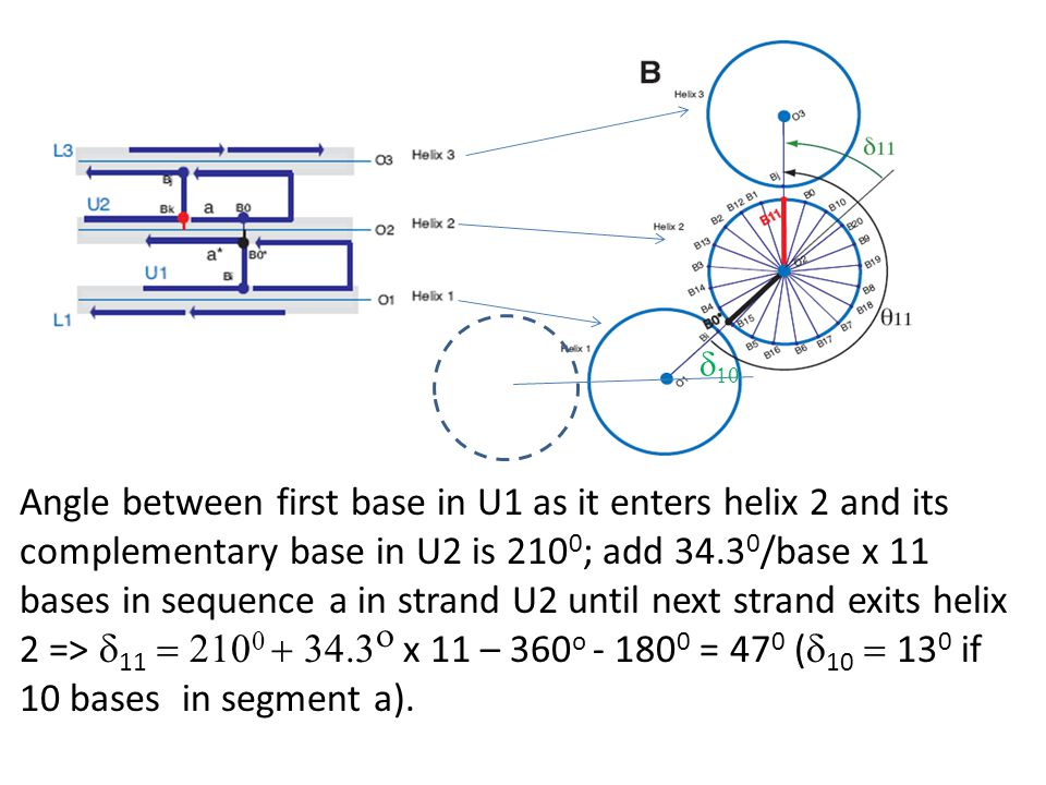 Angle between first base in U1 as it enters helix 2 and its complementary base in U2 is 210 0 ; add 34.3 0 /base x 11 bases in sequence a in strand U2