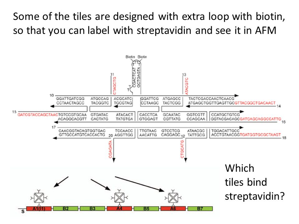 Some of the tiles are designed with extra loop with biotin, so that you can label with streptavidin and see it in AFM Which tiles bind streptavidin?