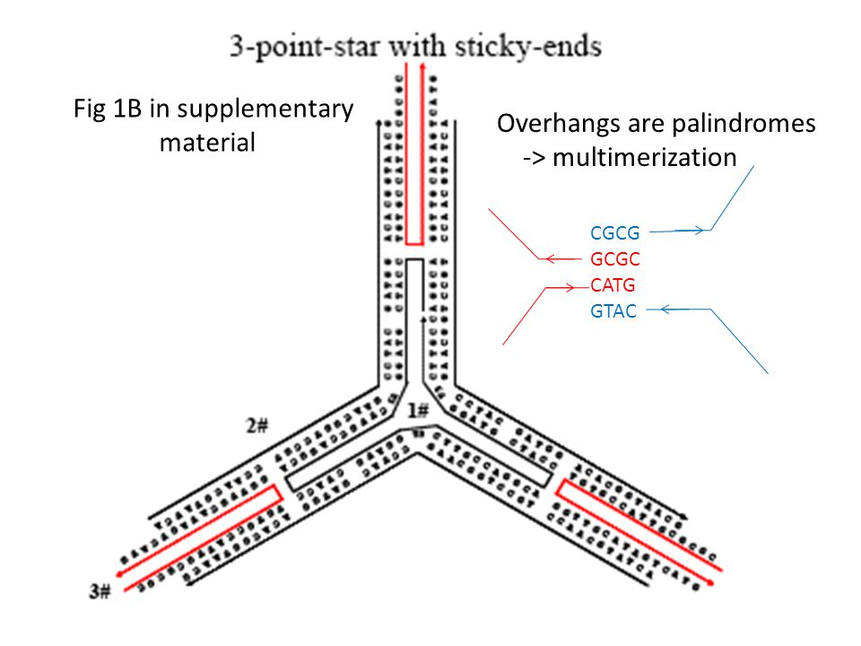 Fig 1B in supplementary material Overhangs are palindromes -> multimerization CGCG GCGC CATG GTAC