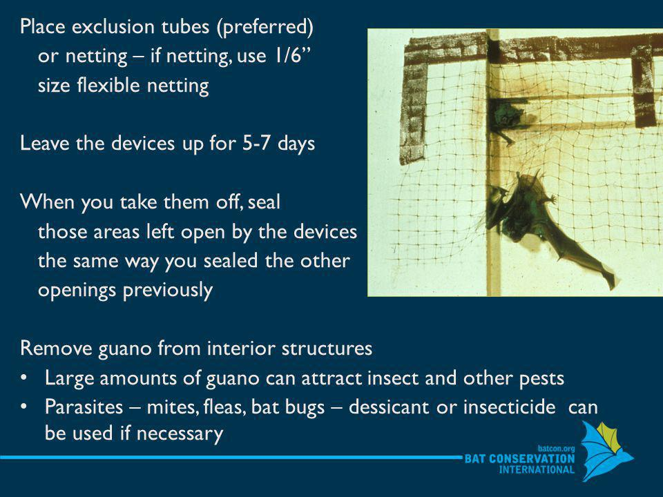 Place exclusion tubes (preferred) or netting – if netting, use 1/6 size flexible netting Leave the devices up for 5-7 days When you take them off, seal those areas left open by the devices the same way you sealed the other openings previously Remove guano from interior structures Large amounts of guano can attract insect and other pests Parasites – mites, fleas, bat bugs – dessicant or insecticide can be used if necessary