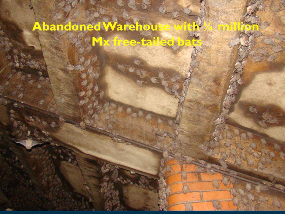 Abandoned Warehouse with ¼ million Mx free-tailed bats