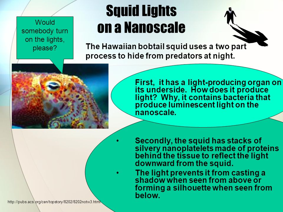 Squid Lights on a Nanoscale First, it has a light-producing organ on its underside.
