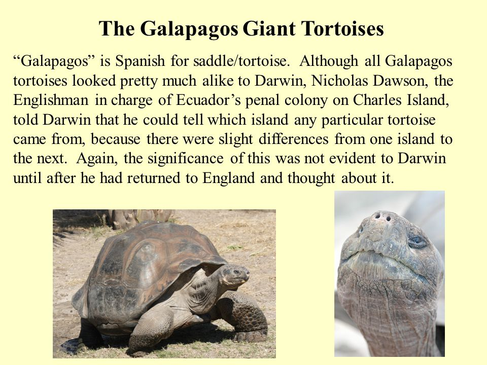 The Galapagos Giant Tortoises Galapagos is Spanish for saddle/tortoise. Although all Galapagos tortoises looked pretty much alike to Darwin, Nicholas
