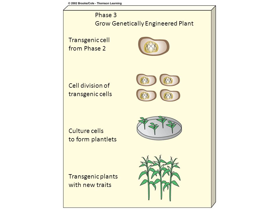 Phase 3 Grow Genetically Engineered Plant Transgenic cell from Phase 2 Cell division of transgenic cells Culture cells to form plantlets Transgenic plants with new traits