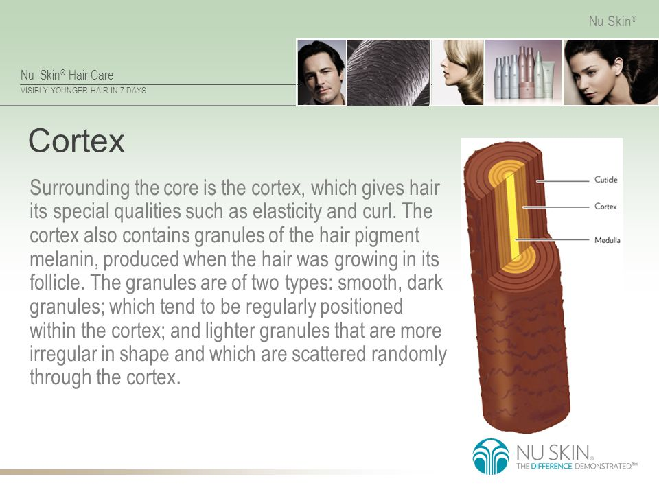 Nu Skin ® Hair Care VISIBLY YOUNGER HAIR IN 7 DAYS Nu Skin ® Cortex Surrounding the core is the cortex, which gives hair its special qualities such as