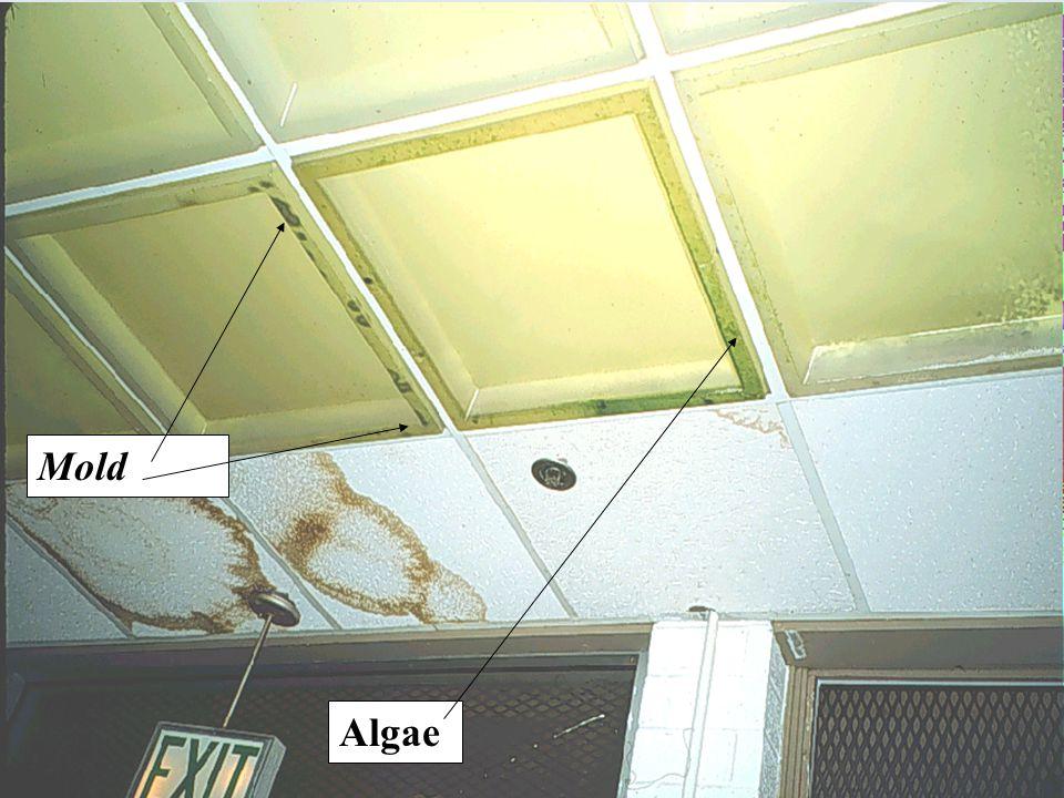 Mold Algae