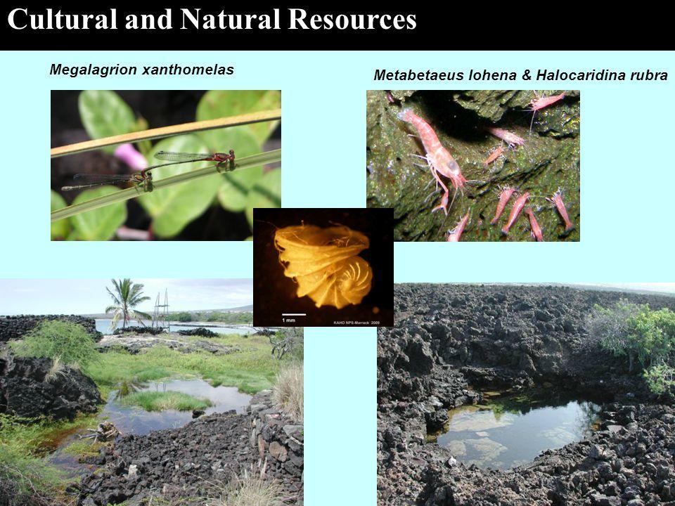The Spirit of Kaloko-Honokohau Cultural and Natural Resources Megalagrion xanthomelas Metabetaeus lohena & Halocaridina rubra