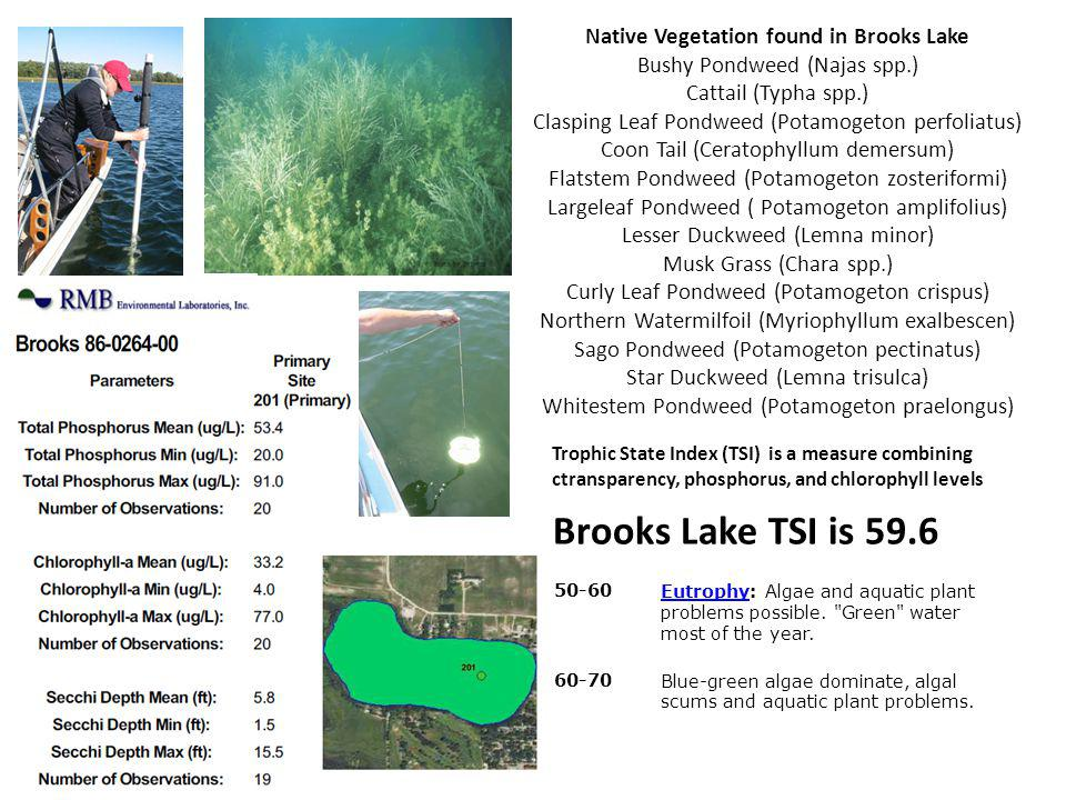 Native Vegetation found in Brooks Lake Bushy Pondweed (Najas spp.) Cattail (Typha spp.) Clasping Leaf Pondweed (Potamogeton perfoliatus) Coon Tail (Ceratophyllum demersum) Flatstem Pondweed (Potamogeton zosteriformi) Largeleaf Pondweed ( Potamogeton amplifolius) Lesser Duckweed (Lemna minor) Musk Grass (Chara spp.) Curly Leaf Pondweed (Potamogeton crispus) Northern Watermilfoil (Myriophyllum exalbescen) Sago Pondweed (Potamogeton pectinatus) Star Duckweed (Lemna trisulca) Whitestem Pondweed (Potamogeton praelongus) 50-60EutrophyEutrophy: Algae and aquatic plant problems possible.