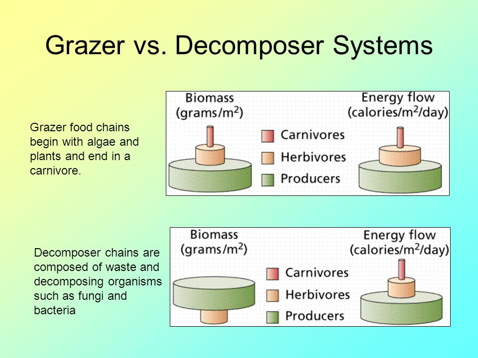 Grazer vs. Decomposer Systems Grazer food chains begin with algae and plants and end in a carnivore. Decomposer chains are composed of waste and decom