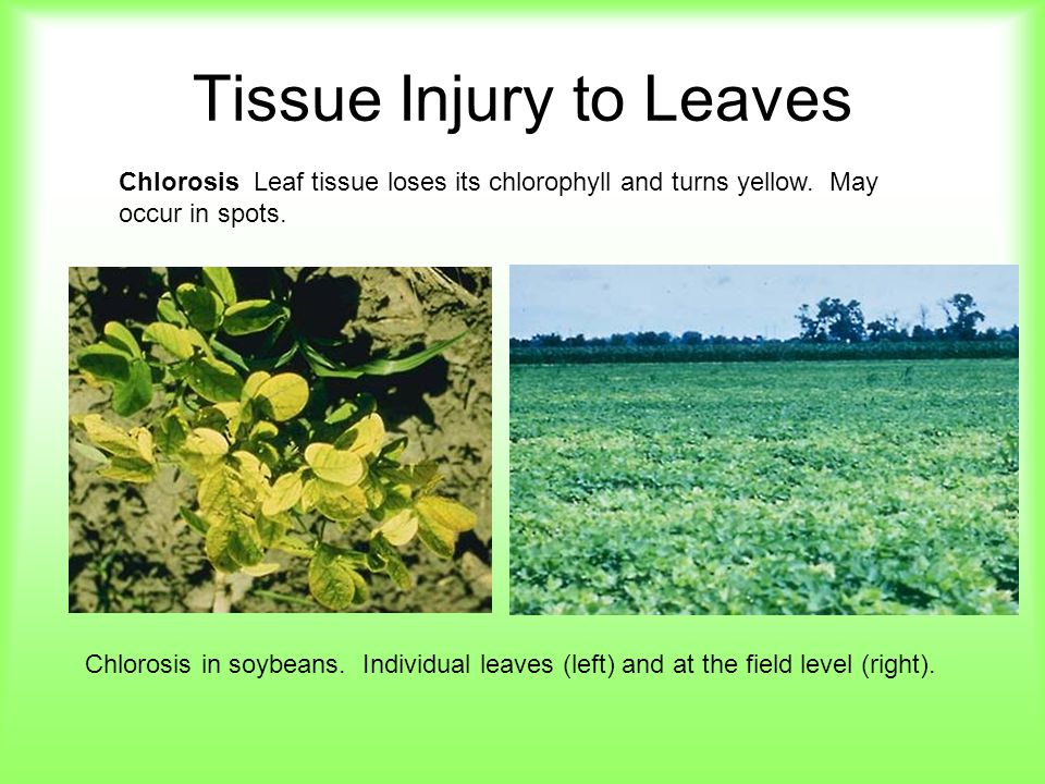 Tissue Injury to Leaves Chlorosis Leaf tissue loses its chlorophyll and turns yellow. May occur in spots. Chlorosis in soybeans. Individual leaves (le