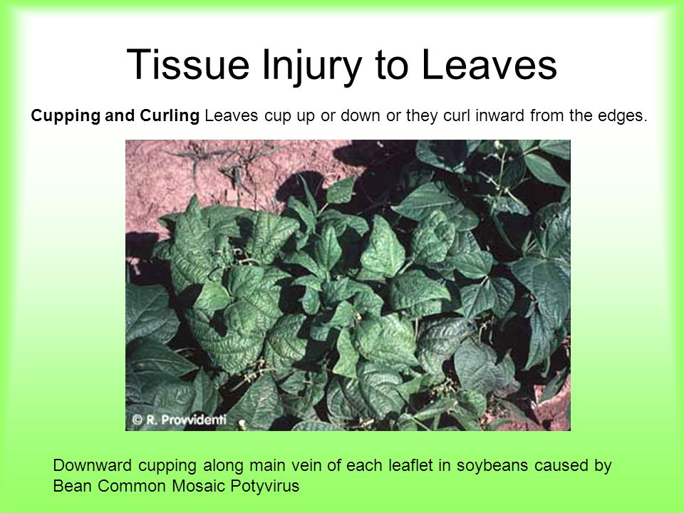 Tissue Injury to Leaves Cupping and Curling Leaves cup up or down or they curl inward from the edges. Downward cupping along main vein of each leaflet