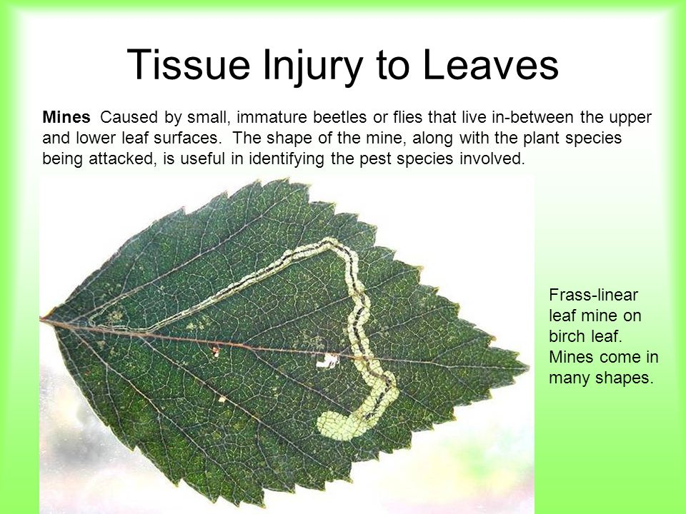 Tissue Injury to Leaves Mines Caused by small, immature beetles or flies that live in-between the upper and lower leaf surfaces. The shape of the mine