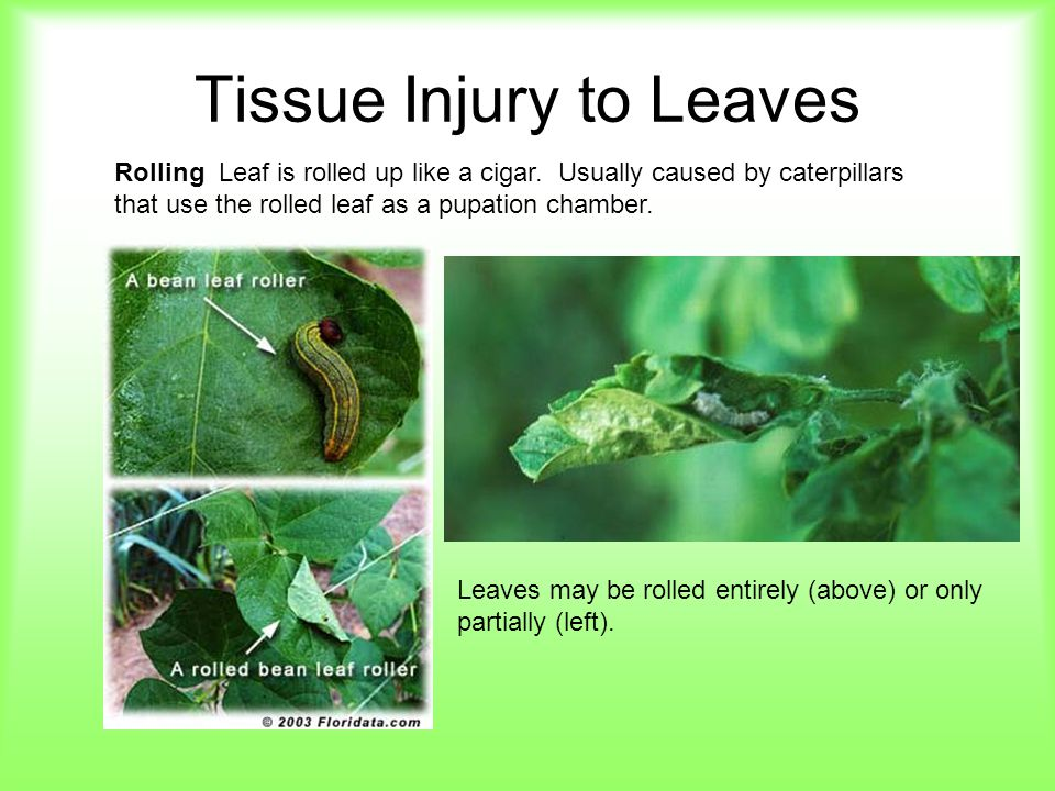 Tissue Injury to Leaves Rolling Leaf is rolled up like a cigar. Usually caused by caterpillars that use the rolled leaf as a pupation chamber. Leaves