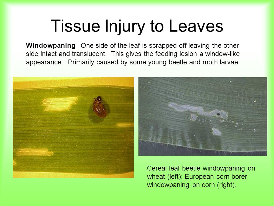 Tissue Injury to Leaves WindowpaningOne side of the leaf is scrapped off leaving the other side intact and translucent. This gives the feeding lesion