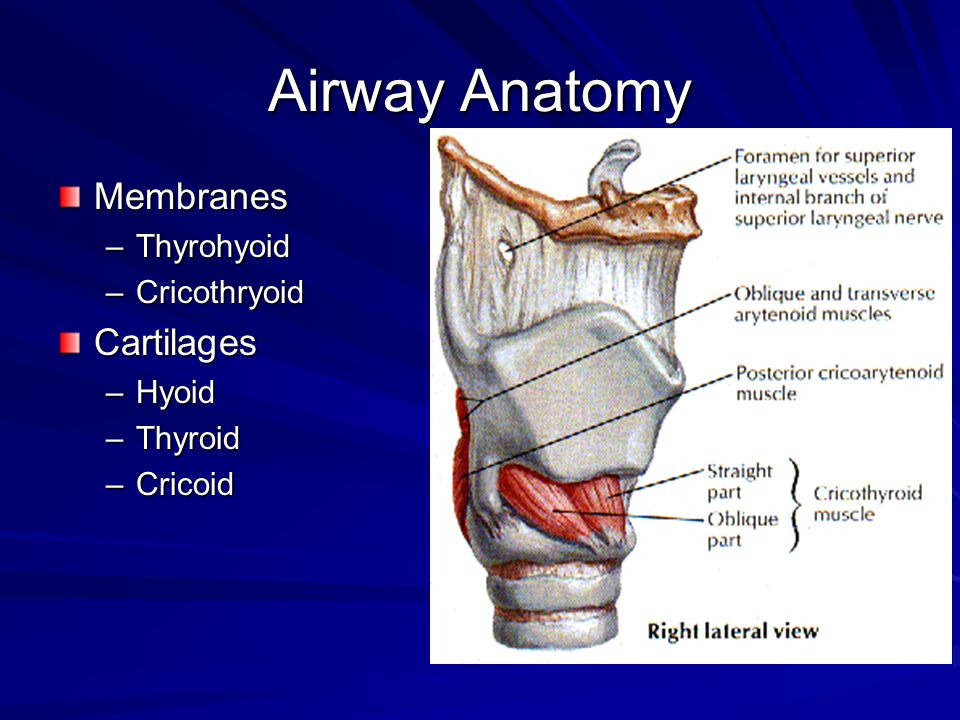 Airway Anatomy Membranes –Thyrohyoid –Cricothryoid Cartilages –Hyoid –Thyroid –Cricoid