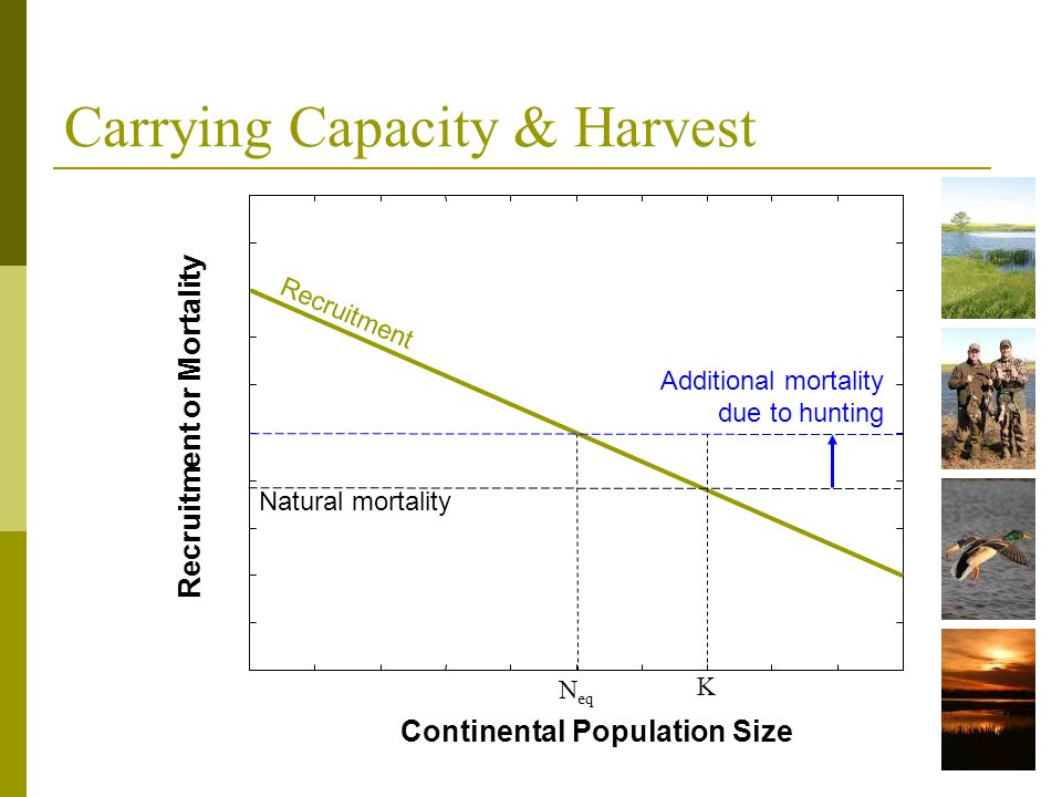 Carrying Capacity & Harvest N eq Recruitment or Mortality Continental Population Size K Additional mortality due to hunting Natural mortality Recruitm