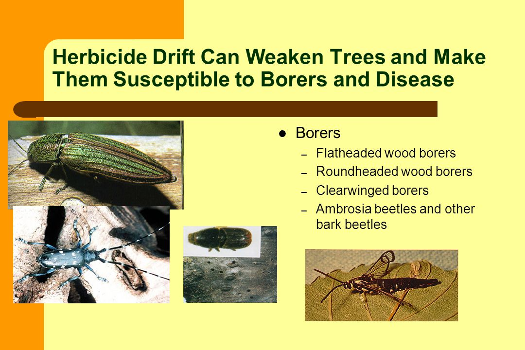 Herbicide Drift Can Weaken Trees and Make Them Susceptible to Borers and Disease Borers – Flatheaded wood borers – Roundheaded wood borers – Clearwinged borers – Ambrosia beetles and other bark beetles