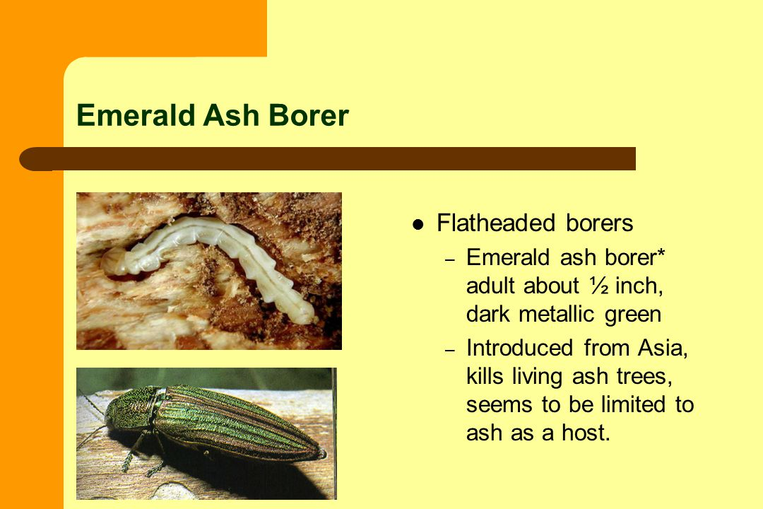 Emerald Ash Borer Flatheaded borers – Emerald ash borer* adult about ½ inch, dark metallic green – Introduced from Asia, kills living ash trees, seems to be limited to ash as a host.