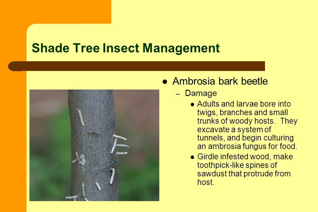 Shade Tree Insect Management Ambrosia bark beetle – Damage Adults and larvae bore into twigs, branches and small trunks of woody hosts.