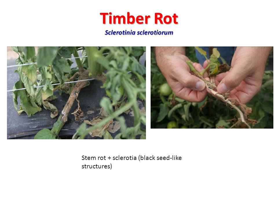 Timber Rot Sclerotinia sclerotiorum Stem rot + sclerotia (black seed-like structures)