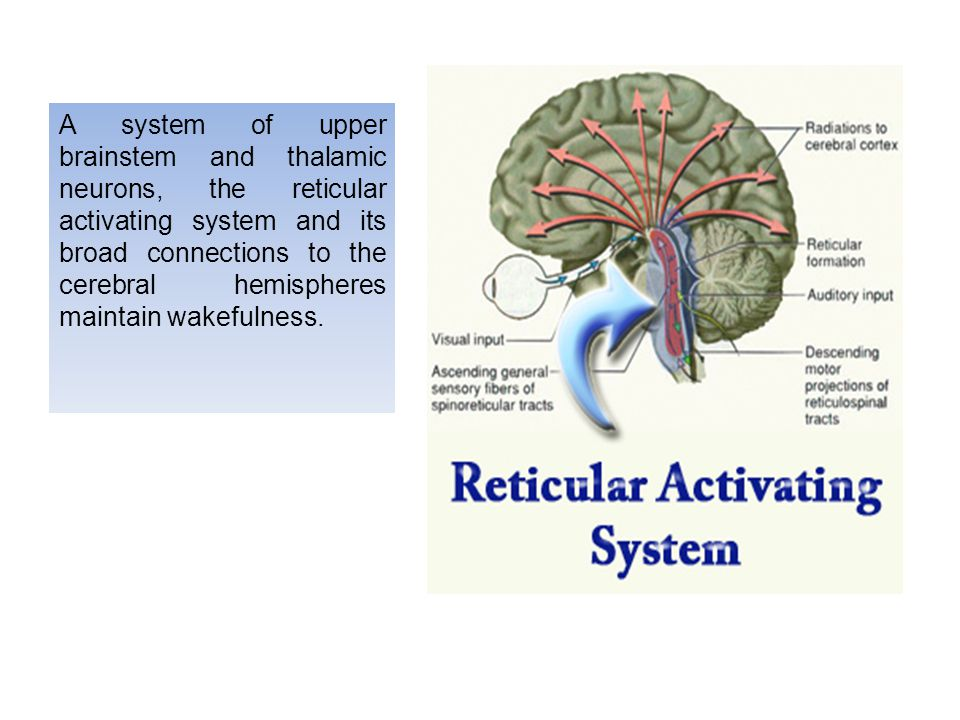 A system of upper brainstem and thalamic neurons, the reticular activating system and its broad connections to the cerebral hemispheres maintain wakefulness.