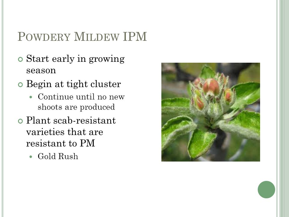 P OWDERY M ILDEW IPM Start early in growing season Begin at tight cluster Continue until no new shoots are produced Plant scab-resistant varieties that are resistant to PM Gold Rush