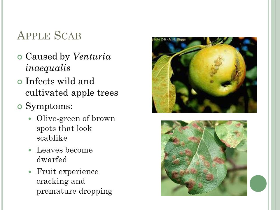 A PPLE S CAB Caused by Venturia inaequalis Infects wild and cultivated apple trees Symptoms: Olive-green of brown spots that look scablike Leaves become dwarfed Fruit experience cracking and premature dropping