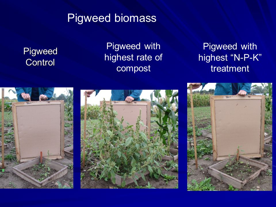Pigweed Control Pigweed with highest rate of compost Pigweed with highest N-P-K treatment Pigweed biomass