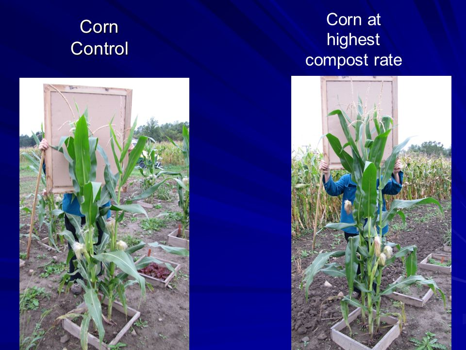 Corn Control Corn at highest compost rate
