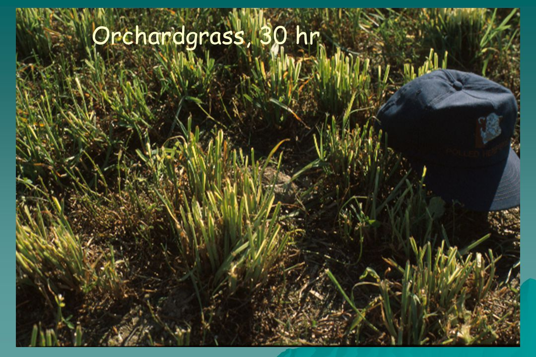 Orchardgrass, 30 hr